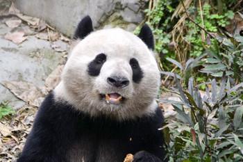 Panda0306