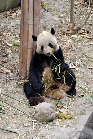 Panda0321