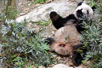 Panda0326
