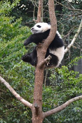 Panda0365